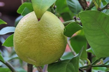 lemon-3746827__340